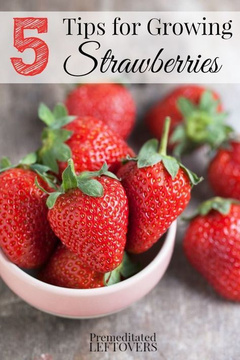 5 Tips for Growing Strawberries including how to grow strawberries from seed, how to grow strawberries in a raised plot, and where to plant strawberries.