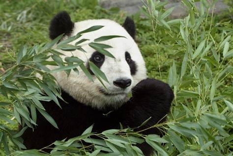 According to a new study, projected temperature increases in China over the next century will likely seriously hinder bamboo, almost the sole source of food for endangered pandas. Only if bamboo can move to new habitats at higher elevations will pandas stand a chance, the researchers said. (via LiveScience; photo via Smithsonian Institution)