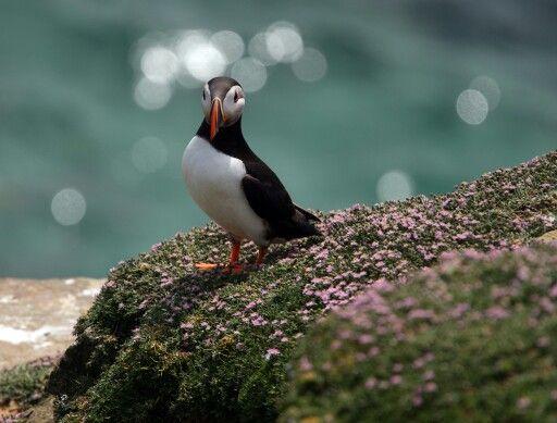 Puffin, Saltee Islands, Wexford, Ireland
