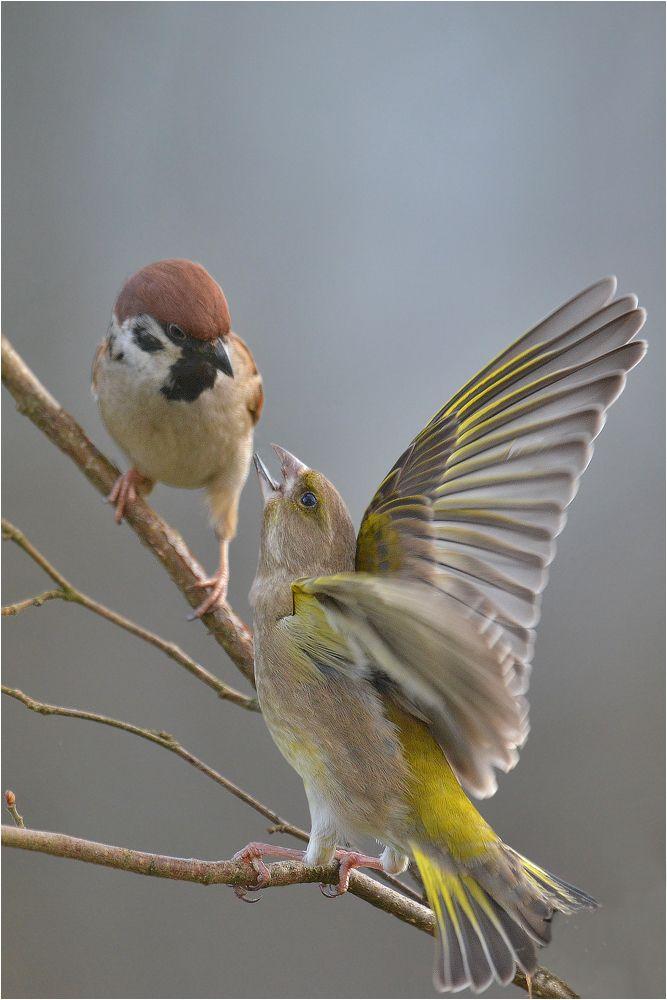 . . . scheint der Feldsperling den Grünfink zu fragen. Allerdings droht hier der Grünfink, weil der Sperling auf seinem Zweig gelandet ist.