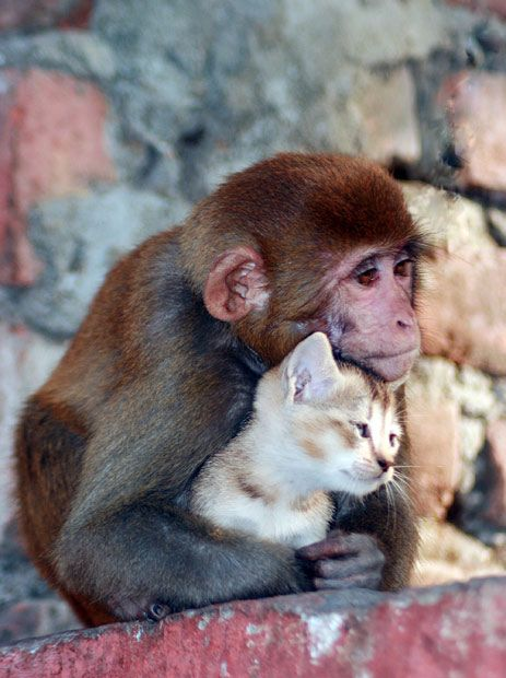 fur makes friends / IndiaValentine'S Day, Animal Friendship, Cat, Monkeys Hug, Animal Pictures, True Love, India, Kittens, Make Friends With Monkeys