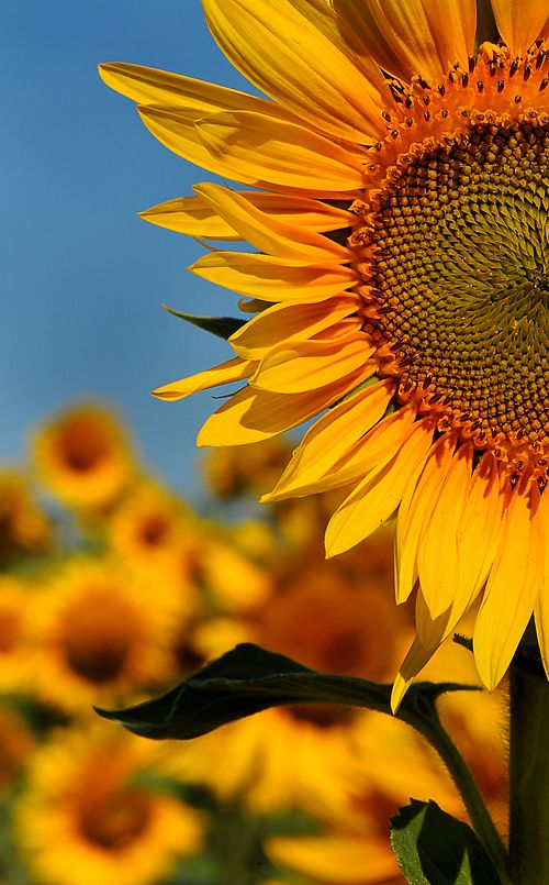 Thinking about using this picture as inspiration for my sunflower landscape quilt. Eager to start on this!