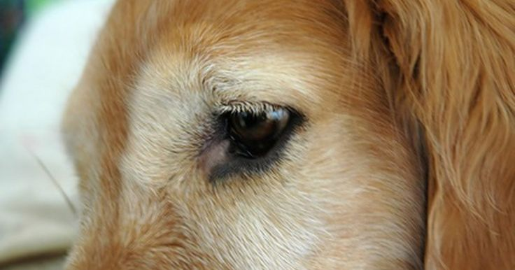 Cómo hacer un parche de ojo para perros. Los perros pueden tener un problema ocular si sus ojos se ven nublados, rojos o tienen secreción - o si tu perro mantiene cerrado un ojo o intenta frotarlo. Los problemas más comunes de ojos que sufren los perros son infecciones, úlceras de córnea, heridas, irritación, ojo rojo o problemas con sus párpados. Sólo un veterinario podría saber qué ...