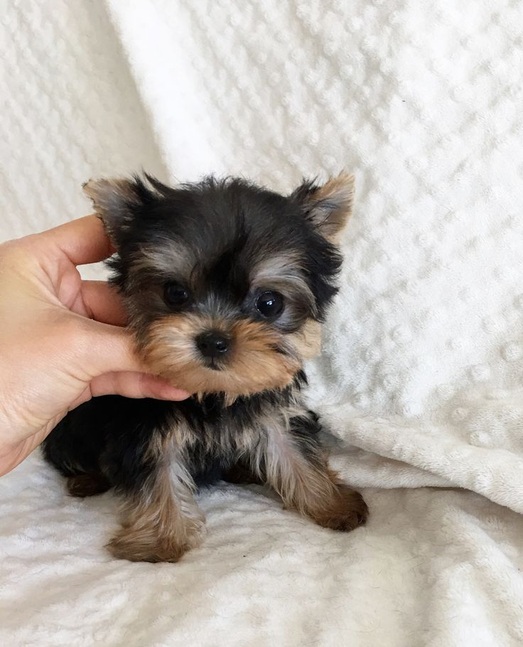 iHeartTeacups | We have beautiful and tiny Teacup and Micro mini sized Tea Puppies for sale in California!!! We specialize in tiny Teacup Yorkies, Teacup Morkies, Teacup Malteses, Teacup Maltipoos, Teacup Shorkies, Teacup Pomeranian and other teacup sized puppy breeds!!! We have the tiniest and custest puppies in Los Angeles! We also specialized in the itty bitty luxury purse pocket Micro Teacup puppies. Enjoy your visit at iHeartTeacups.com, Thank You!