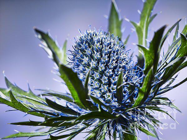 close up of a prickly blue thistle blossom flower  Nahaufnahme einer stacheligen blauen Distelbluete Blume