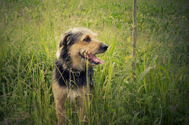 Foxhoodle | Dog breeds | Dog breeds, Dogs, English foxhound