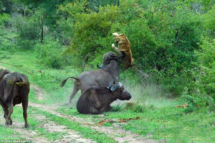 Angry: Pictures capture the moment a bull throws a lion into the air as it went to help a vulnerable buffalo in South Africa