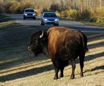 Bison i Elk Island National Park, Canada