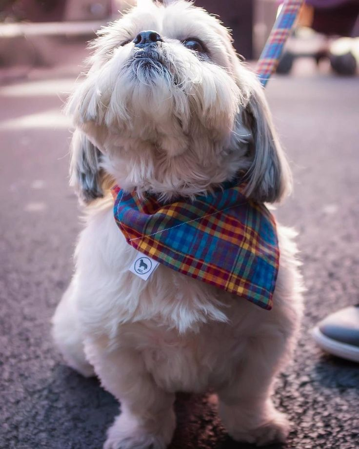 Good luck to anyone sitting #exams today! Don't worry it's nearly @orangepipmarket time!! Here is another fab photo by @paulmurrayfoto taken at Aprils #orangepipmarket I hope the fab #micropub are ordering plenty of beer..... #alfietheangryshihtzu #shihtzu #shihtzumoments #shihtzugram #shihtzusofinstagram #dogblog #dogoftheday #singingdog