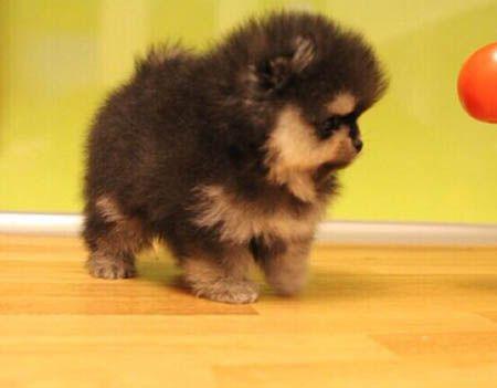 http://spitzpomeranian.com/?Itemid= Spitz nain Pomeranien disponibles et prix par Newsletter Pomeranian puppies available and prices on Newsletter