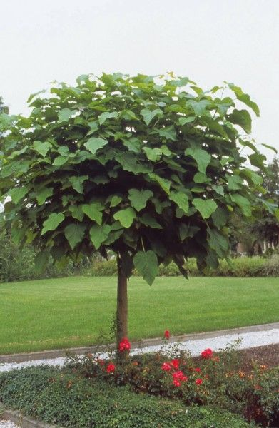 catalpa bignonioides 39 nana 39 bomen pinterest trees. Black Bedroom Furniture Sets. Home Design Ideas