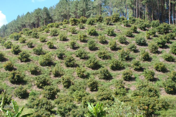 Cultivo de Aguacate Hass. San Pedro Antioquia COLOMBIA