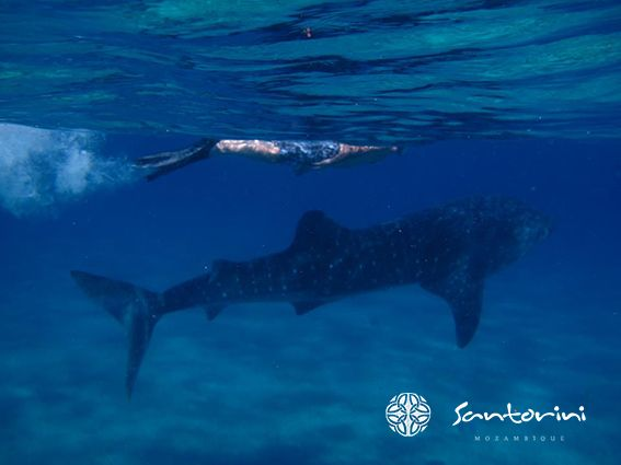 A trip to Villa Santorini could see you swimming with a magnificent whale shark. Truly a once in a life time experience.  #VillaSantorini #Mozambique #WhaleShark #Snorkeling