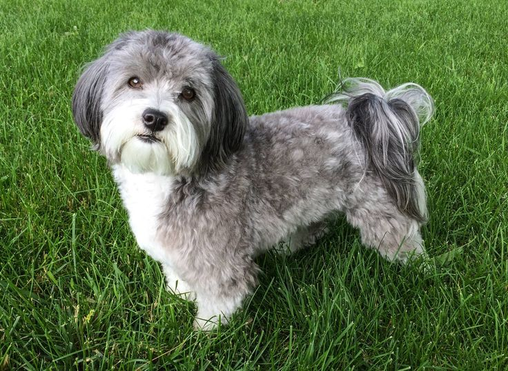 Click visit site and Check out Best HAVANESE Shirts. This