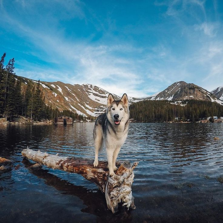 """""""Hello everyone! @Loki_the_wolfdog's best friend Kelly here, taking over GoPro's Instagram to bring you stories of how Loki and I came to be. It all…"""""""