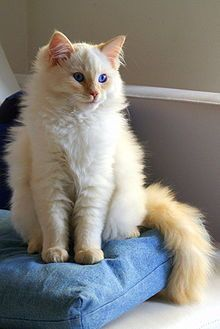 """""""Ragdoll"""". The Ragdoll is an affectionate, intelligent, relaxed in temperament, gentle and easy to handle kitty! LOVE!!!"""