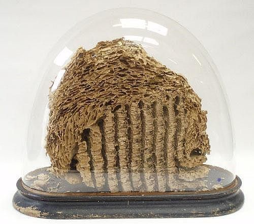 Victorian study of a wasps nest under an oval glass dome. Stunning ...
