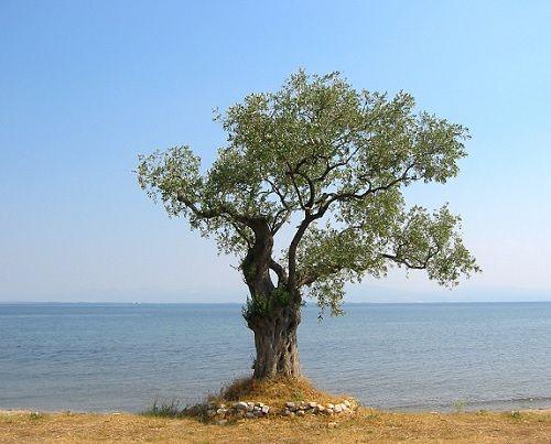 Гороскоп друидов дерево Олива     Зодиак кельтов. Люди рожденные под знаком Оливы 23 сентября в день осеннего равноденствия