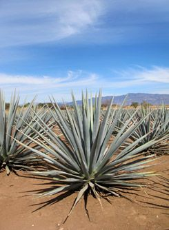 Blue Agave plant, visiting the city of Tequila, Jalisco, Mexico for http://www.thekitchendoesntbite.com/ #lacocinanomuerde #thekitchendoesntbite