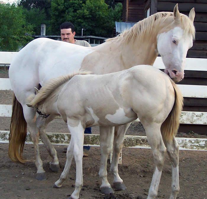 Shesa Awesome Formula met haar moeder Shesa Bita Awesome. Deze dames zijn waarschijnlijk homozygoot voor het Pearl-gen. Ze hebben ook beiden veel witte aftekeningen, waarschijnlijk Splash of Sabino. Ras: American Quarter Horse of American Paint Horse.