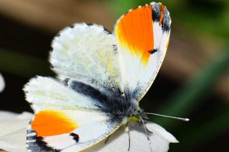 Vlinder, oranjetipje