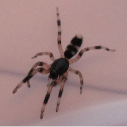 White Tail Spider - Dangerous or Over Rated?