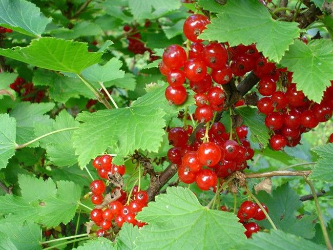 Red Currant  Ribes spp.  berries are bright translucent red.  berries are sour but palatable.  berry is more sour than black currant berry.  plant is waist high.