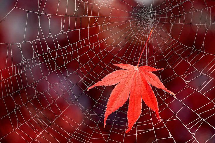 acer palmatum Ahorn Blatt fächerahorn Herbst laub Rot Spinnennetz