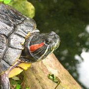 Red-eared sliders are tiny, quarter-sized turtles as babies, but quickly grow into large, 12 to 16-inch adults. They require extremely large aquariums, substantial filtration and ample lighting. A red-eared slider's tank setup is the key to its health, and a well-functioning tank or pond ecosystem will ensure a long and happy life for these hardy...