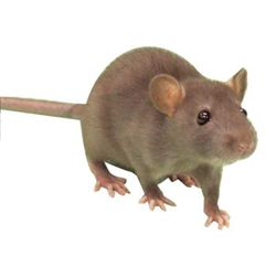 Rodents belong to the category of mammals because of its teeth and jaw. These are the most common pets that encumber most of the households. Because of their teeth they are able to bite fibrous materials like wood. So you may think how strong their teeth and jaw structure is. There are many types of rodents like squirrels, chipmunks, rats, etc. however they are different but the ways to get rid of them is more or less similar. Here are certain ways to get rid of them.