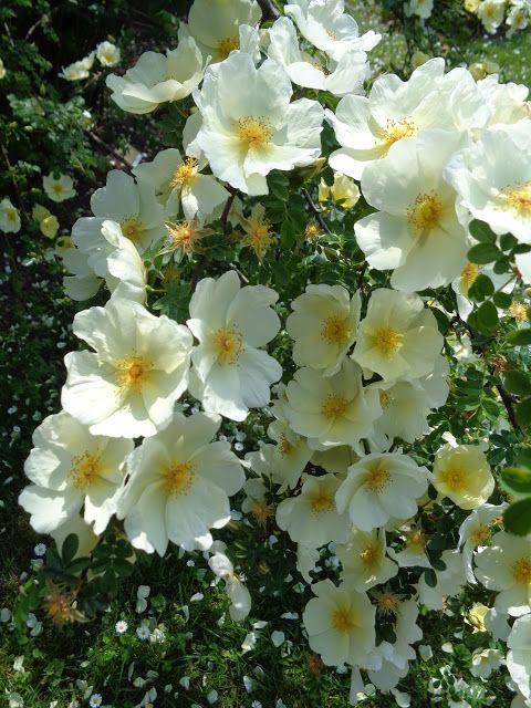 Rosa xanthina ecae -  Foto-diario di una giardiniera curiosa