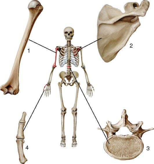 НЕМНОГО АНАТОМИИ😋 По форме, функции, строению и развитию #кости делятся на группы:  1. Длинные (трубчатые) кости - это кости скелета свободного отдела конечностей. Они построены из компактного вещества, расположенного по периферии, и внутреннего губчатого вещества. В трубчатых костях различают диафиз - среднюю часть, содержащую костномозговую полость, эпифизы - концы и метафиз - участок между эпифизом и диафизом.  2. Короткие (губчатые) кости: кости запястья, предплюсны. Эти кости построены…