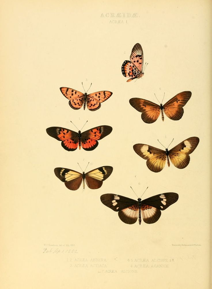 Illustrations_of_new_species_of_exotic_butterflies_Acræa_I.jpg (2262×3078)