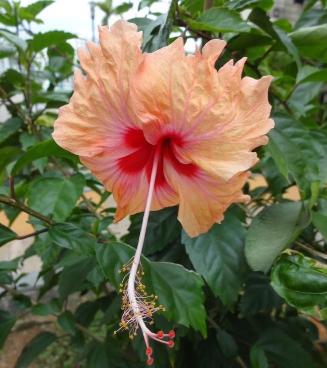 Hibiscus rosa sinensis 'Sprinkle Rain'