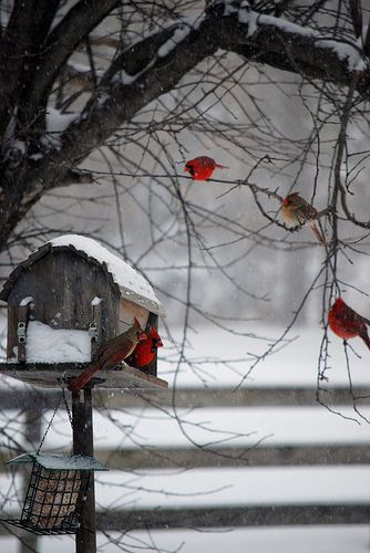 Red Cardinals in Winter. (The red ones are the males. The brown ones are the females, coloured that way to blend into their nesting material so as to camouflage them and their fledglings against predators such as cats and raccoons. This is a very beautiful photograph and shows the proper feeding box preferred by cardinals. ~ B33Happy Honey *^-^*