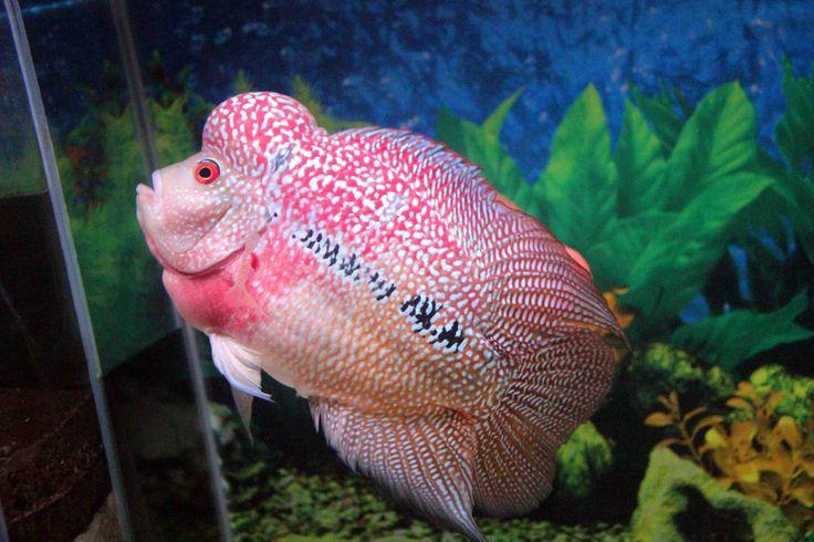 gambar foto Ikan louhan dan berbagai ikan hias lainnya