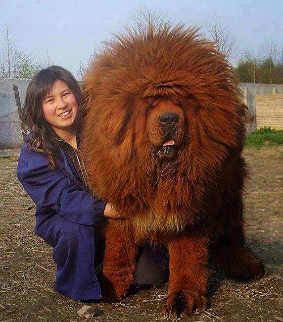 Cão da raça mastiff tibetano - O mais caro do mundo                                                                                                                                                                                 Mais