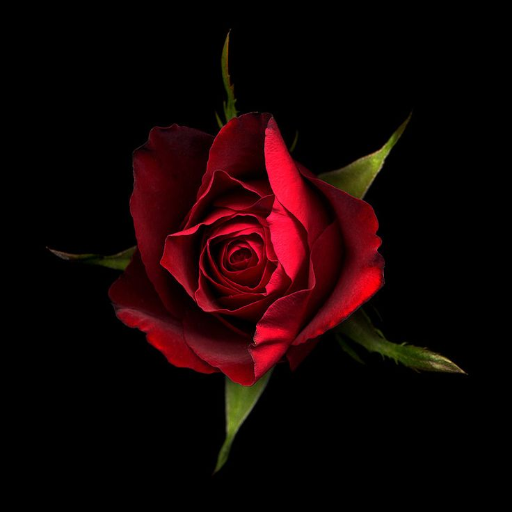 Photograph THE OH SO KISSABLE RED ROSE... by Magda Indigo on 500px