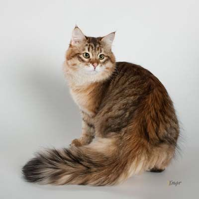 Siberian - Living with a cat is quite pleasurable, but living with a Siberian cat is a rewarding, life-changing experience. A confident, problem-solving house clown, the Siberian can be your best friend.