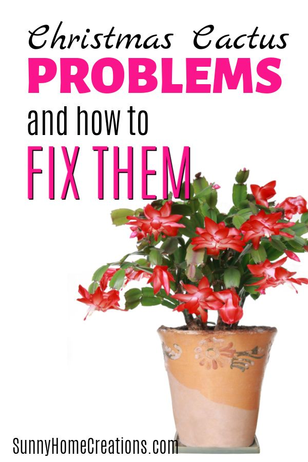 Christmas Cactus Problems And How To Fix Them In 2020 Christmas Cactus Cactus Gardening Tips