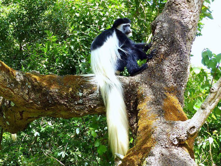 Kenia Colobus monkey