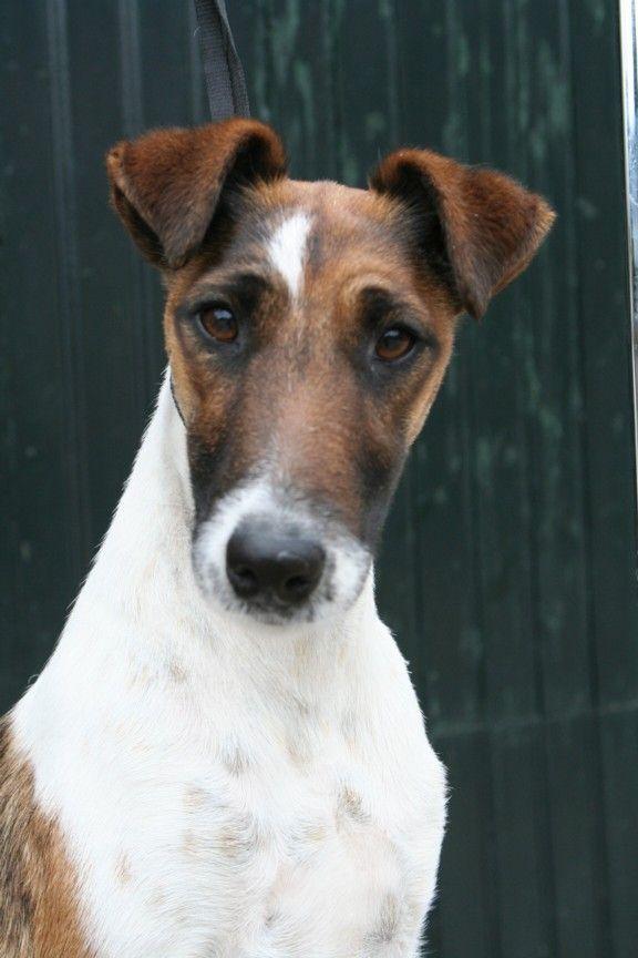 DH choice : fox terrier