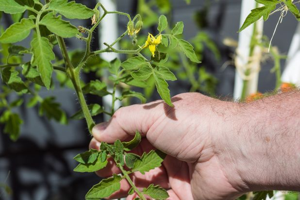 How to Prune Early Girl Tomato Plants | eHow