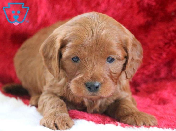 Hoops Cavapoo Puppies Puppies Cavapoo Puppies For Sale