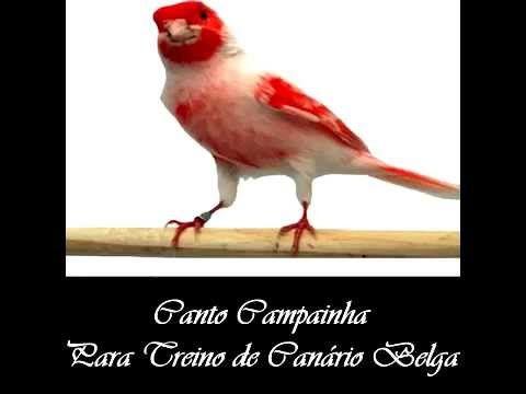 Canto Campainha Canário Belga - Ótima Qualidade de Som praguinaldo
