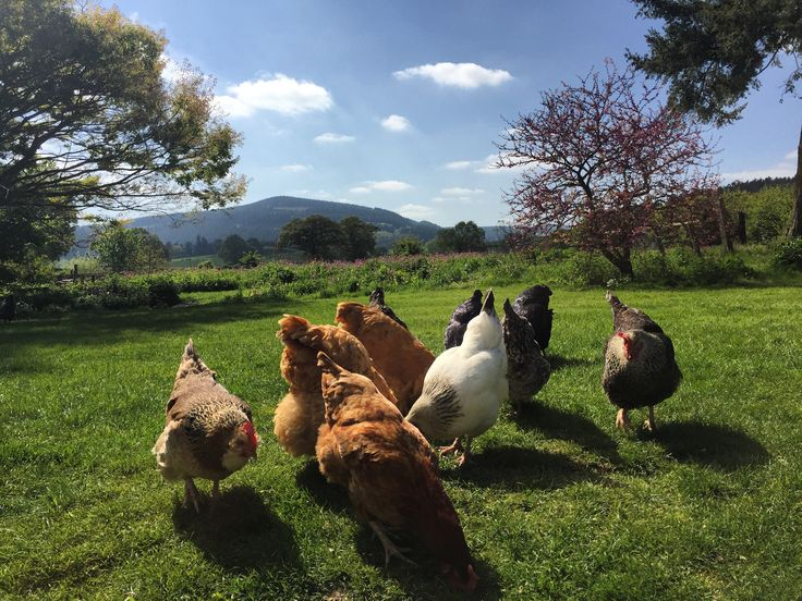 A few of our hens enjoying a sunny day