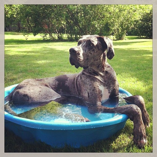 Moose is escaping the heat...great Dane style ;).. not a small dog but I couldn't resist.. he looks so cute!