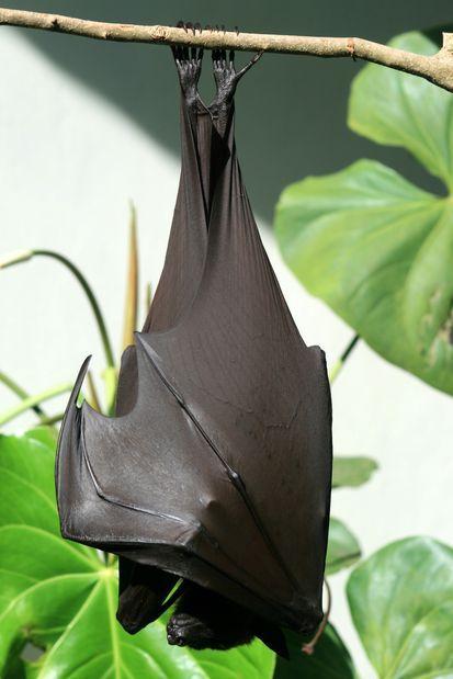 Giant Bat, Pteropus vampyrus (Bali. Indonesia)   Chauve-souris roussette, pteropus vampyrus (Bali. Indonésie)   Bat murciélago de la fruta, Pteropus vampyrus (Bali. Indonesia)