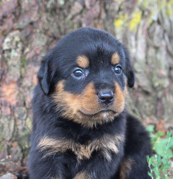 Brianna Puppies Rottweiler Puppies Mastiff Puppies For Sale