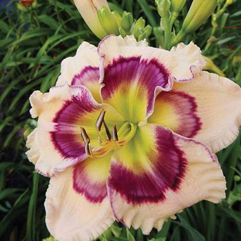 Pete Harry Daylilies... Daylilies Of Distinction KALEIDOSCOPE QUEEN